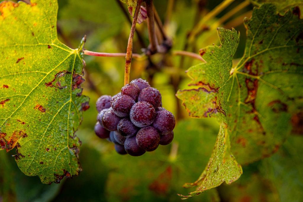Vignes et vignobles (Nouvelle-Aquitaine) Claude Clin